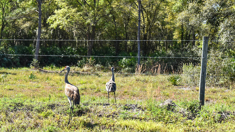 Sandhill cranes at barbed wire fence