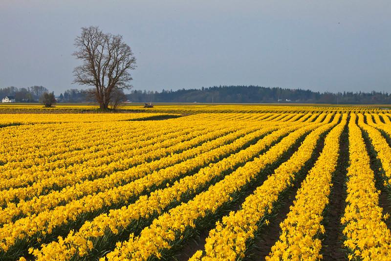 Daffodils 112