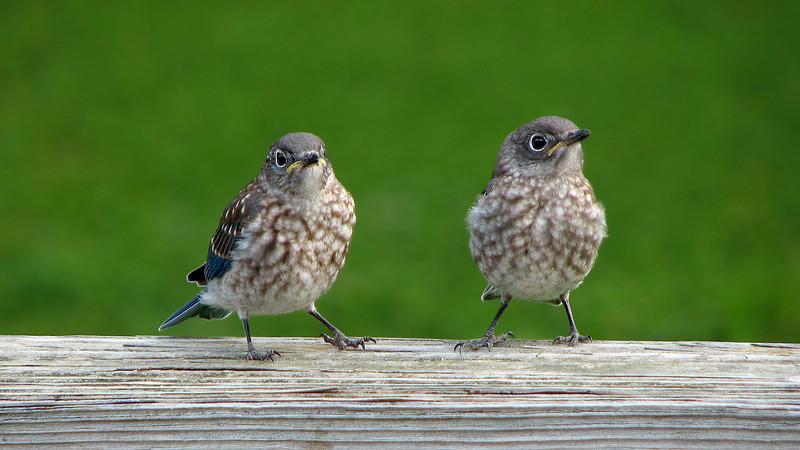 bluebird_fledgling_4541.jpg