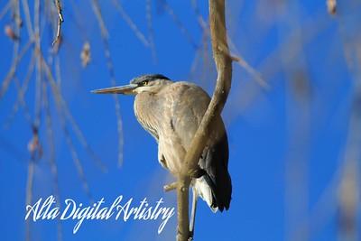 Blue Heron Vigilant 2
