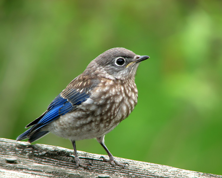 bluebird_fledgling_9135_1.jpg