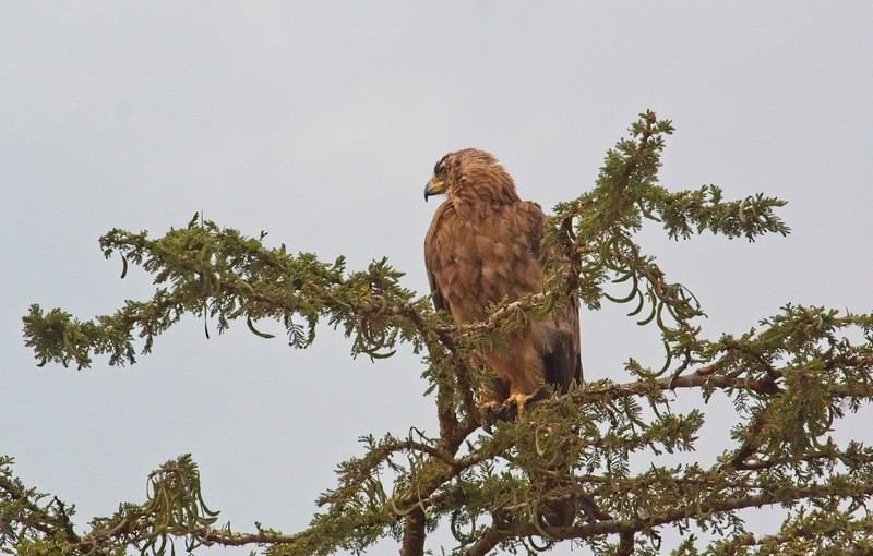 Tawny Eagle, Naboisho Conservancy