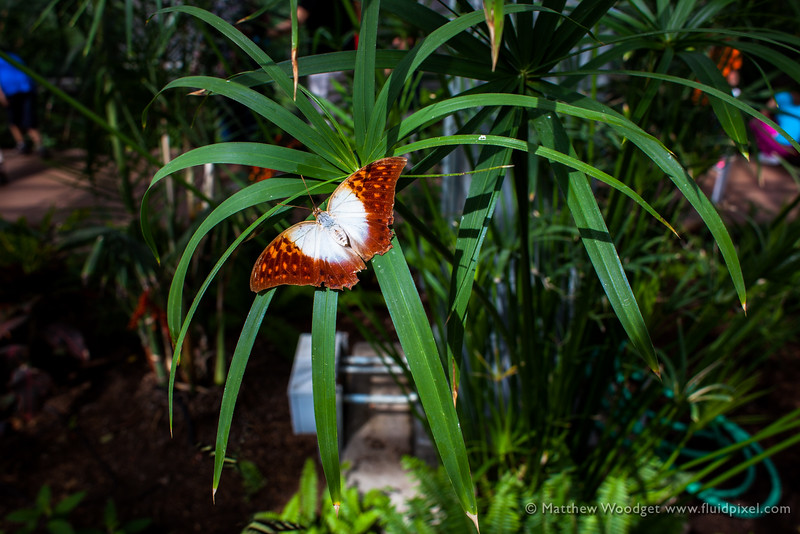 Woodget-140221-041--butterfly - Insect, flower - Plants.jpg
