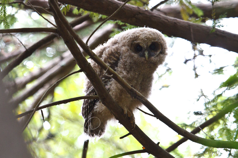 Spotted Owl 06-03-70.jpg