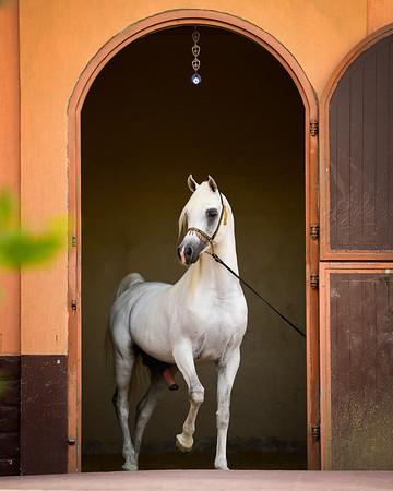 Alward Arabians