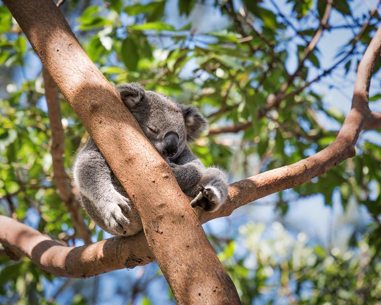 Sleepy Koala || Sydney