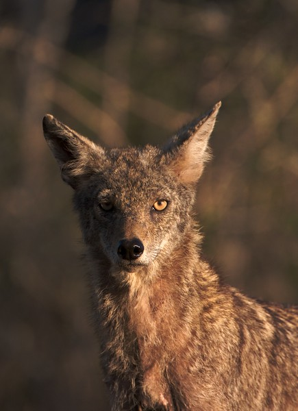 This lean Coyote was hunting the scrub country of South Texas [April; Sick Dog Ranch near Alice, Texas]
