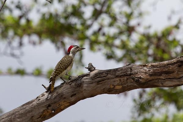 Nubian Woodpeckers