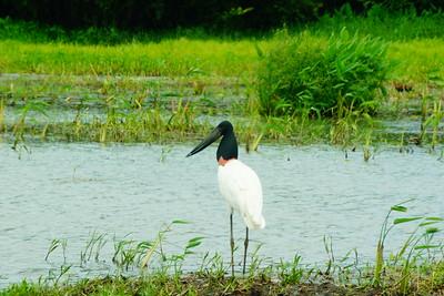 Wetlands Birdwatching w/Mardigi Tours (2018-07-03)