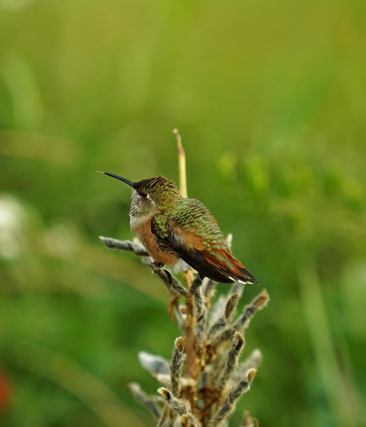 Trying to capture hummingbird sticking out its tongue
