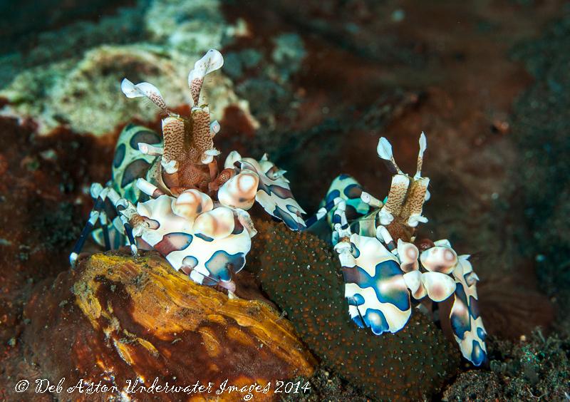 Porcelain Shrimp Hymenocera picta