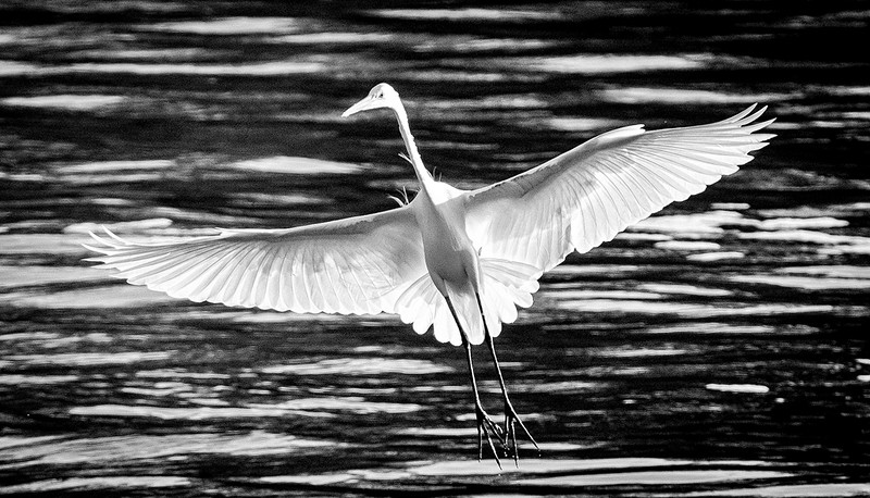 Egret bw2.jpg