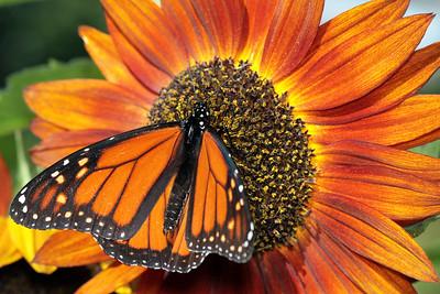 Monarchs 09-30-06