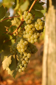 Weißwein? / White Wine?