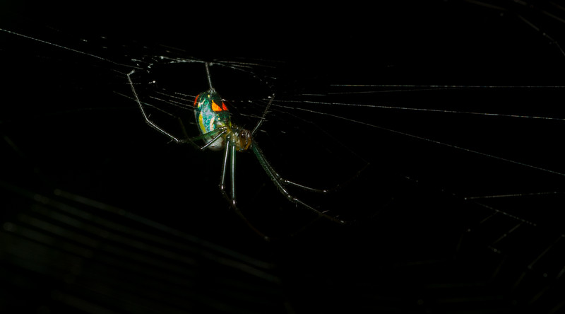 Orchard Orbweaver, Leucauge venusta, from the Timucuan Preserve in Florida.