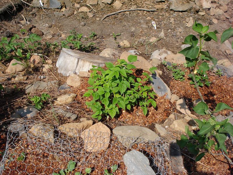 New Raspberry 6-25-2008