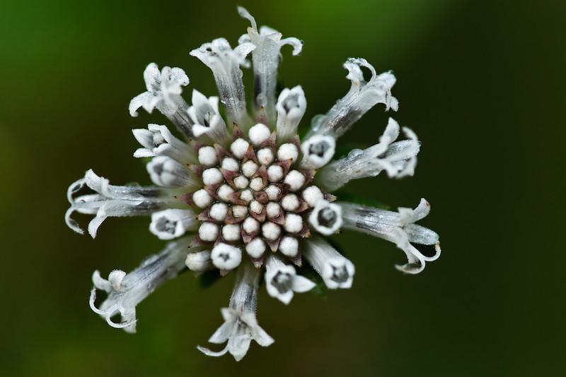False daisy (Eclipta alba)