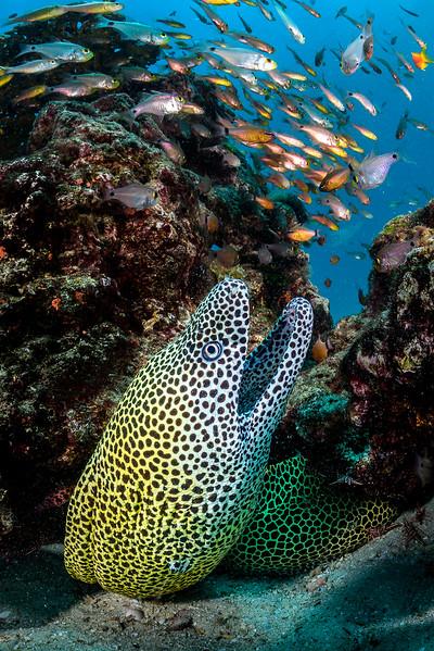 Honeycomb moray, Kisite Marine Park, Kenya.
