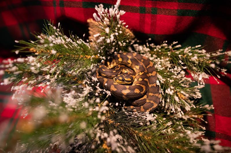 ChristmasSnakes19_0010.jpg