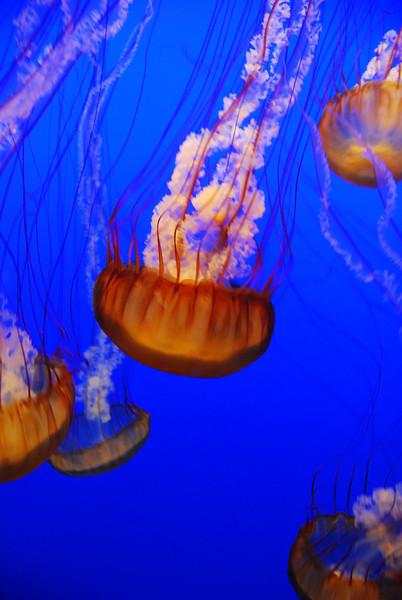 Jellyfish at the Monterey Bay Aquarium.