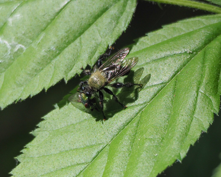 Robber fly (Laphria virginica) with prey