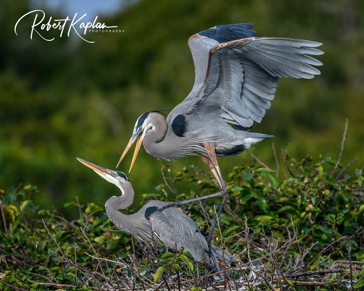 Great Blue Heron-9797.jpg