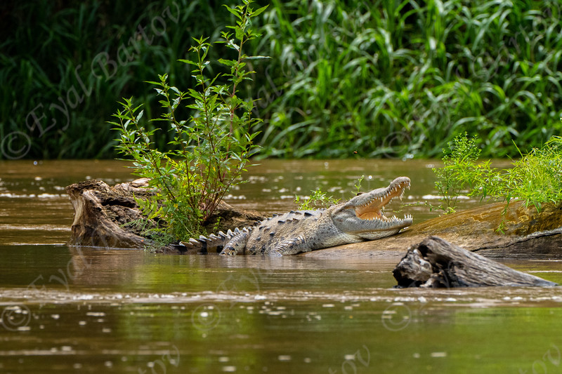 The American crocodile is a large crocodilian that can reach lengths up to 7 metres (4 m being average adult size) EYL06570.jpg