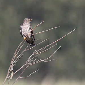 Käki (Cuculus canorus)