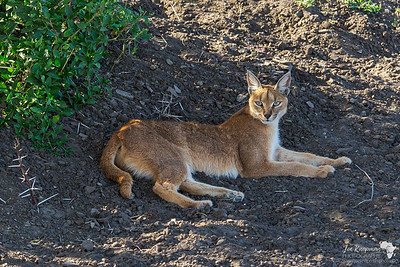 A caracal relaxing in Ndutu