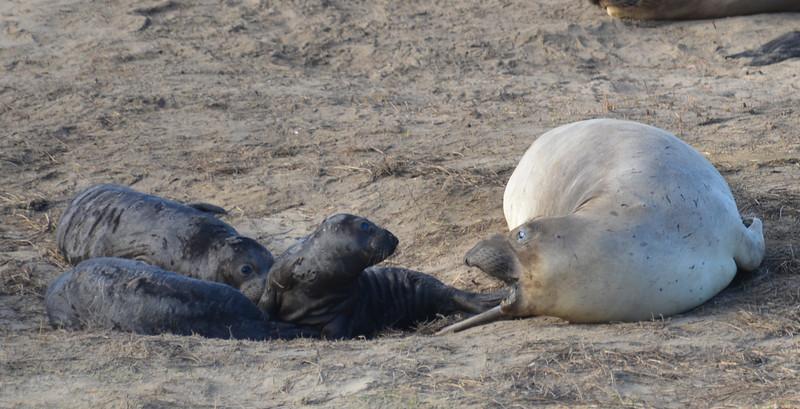 ano-nuevo-elephant-seals-2013 11.jpg
