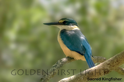 Sacred Kingfisher, Australia