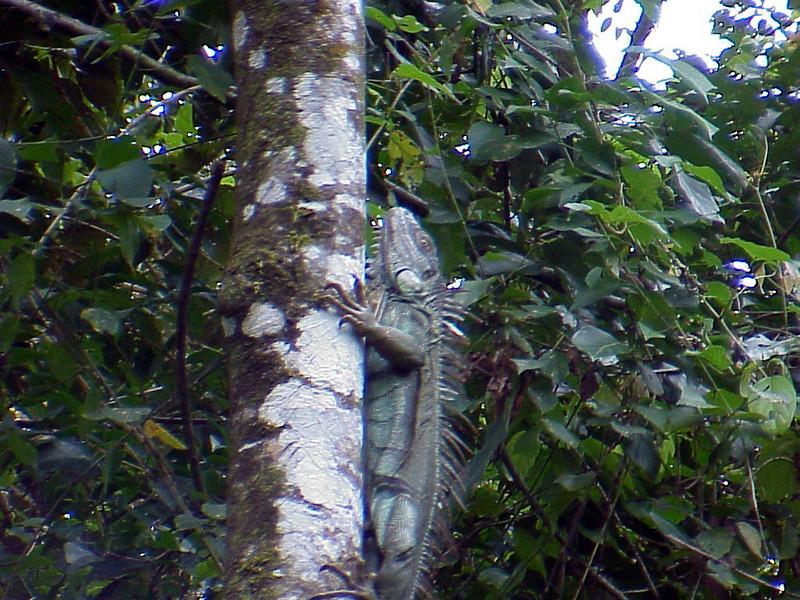 Green Iguana at La Selva Costa Rica 2-11-03 (50898140)