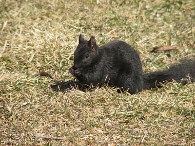 20060317 Eastern Gray Squirrel