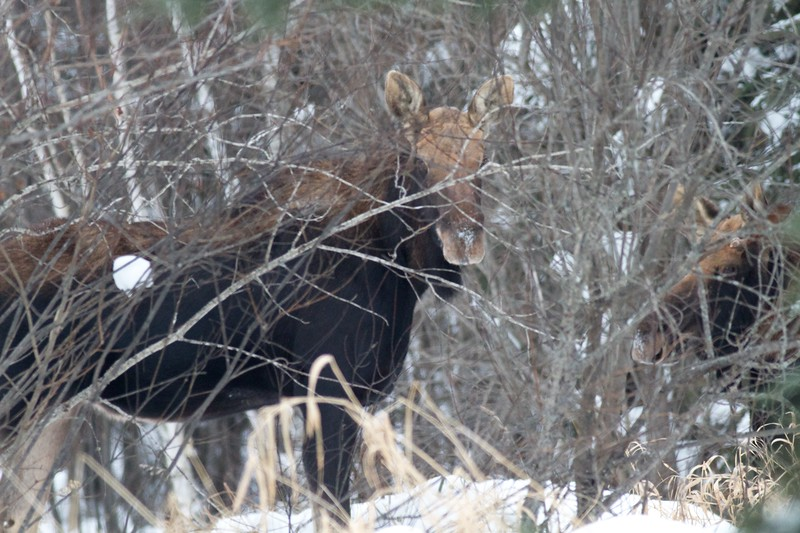 Moose two Arkola Rd Sax-Zim Bog MN IMG_1454.jpg