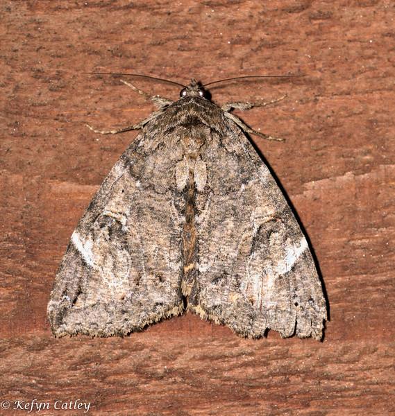 LEPIDOPTERA: Erebidae: Euparthenos nubilis, locust underwing