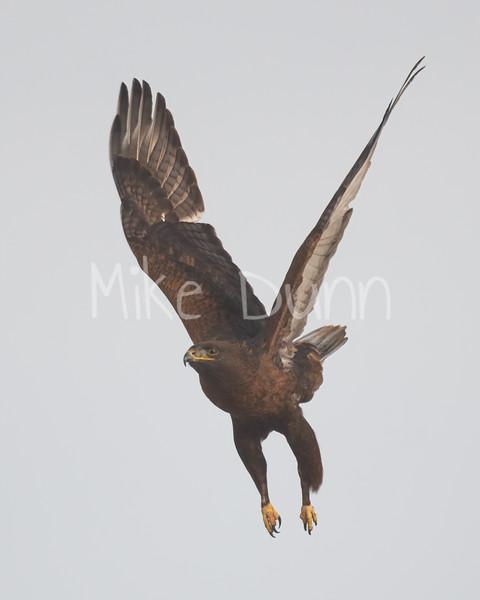 Ferruginous Hawk-194