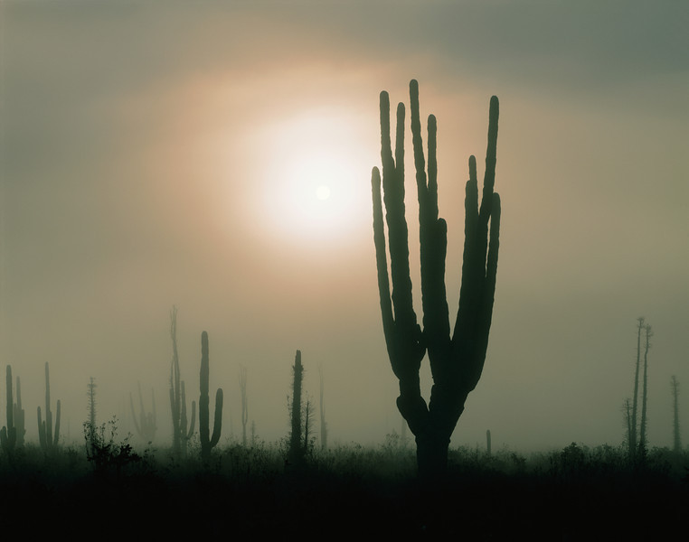 Baja California, Boojum, MEX/(Indria columnaris) and Cardon cactus (Pachycereus pringlei) at sunrise in fog bank in Desierto Central near Catavina.189h                  a