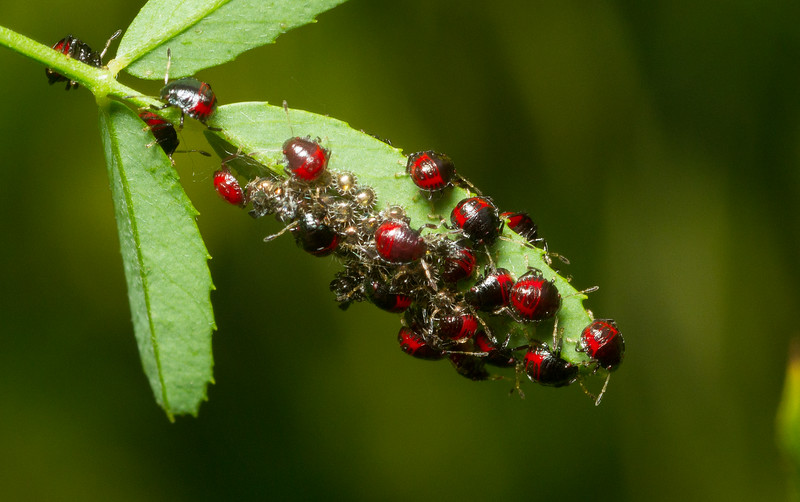 A 'nursery' of recently-hatched 1st- and 2nd-instar stink bug nymphs, possibly the nefarious 𝐻𝑎𝑙𝑦𝑜𝑚𝑜𝑟𝑝ℎ𝑎 ℎ𝑎𝑙𝑦𝑠, in Iowa.