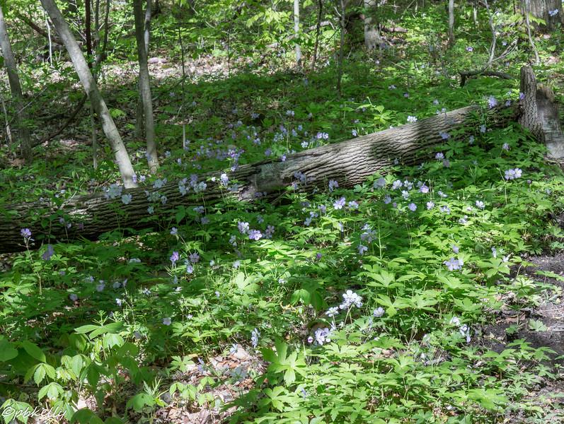 wild geraniums 051616-3.jpg