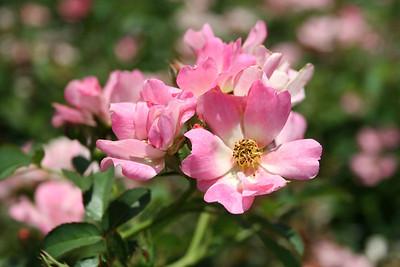 Pink Drift® Rose