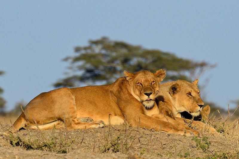 Lioness-stare.jpg