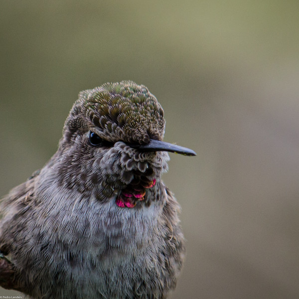Anna's Hummingbird - Detail.jpg
