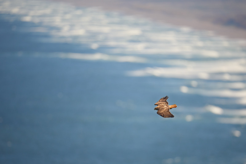 Red-Tailed Hawk at Point Reyes