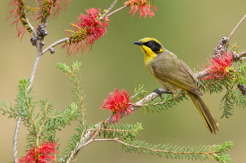 Yellow-tufted Honeyeater - Lichenostomus melanops (Warby Ranges, Vic)