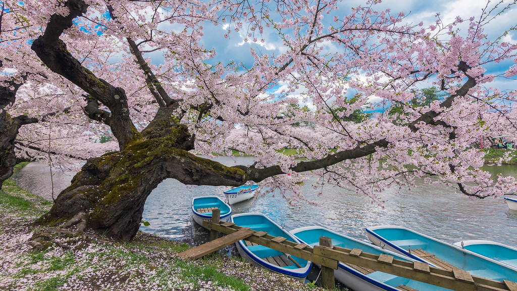 Boats and Cherry Blossoms At Hirosaki Castle, Japan