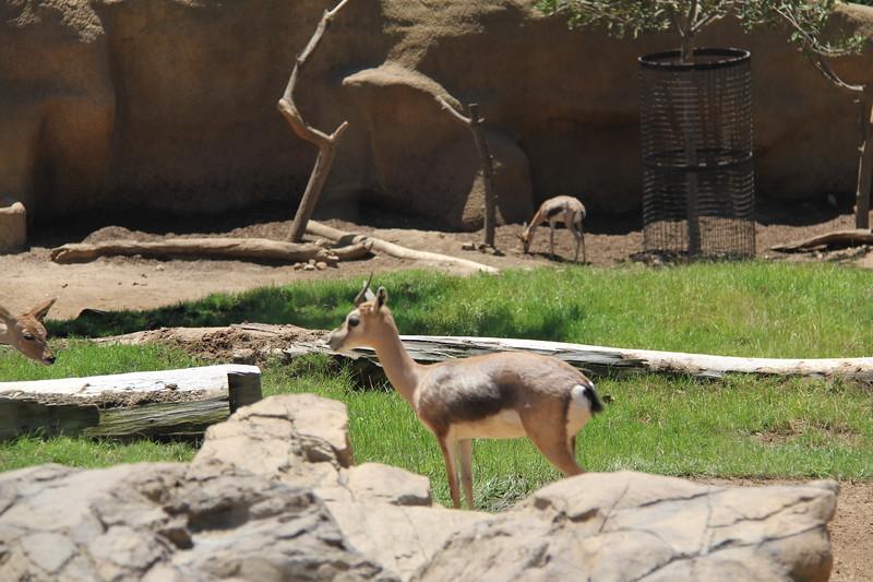 20170807-107 - San Diego Zoo - Antelope.JPG