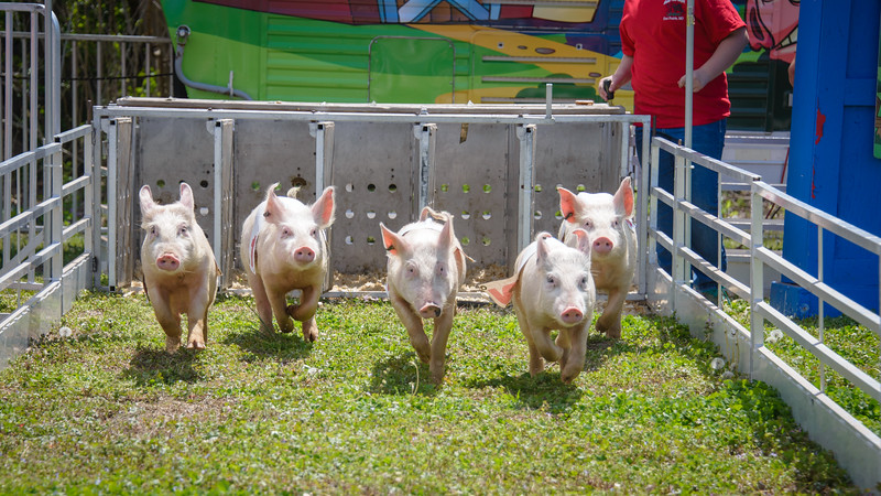 Swine Races @ Azalea & Dogwood Festival