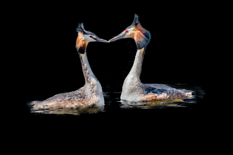 Two great crested grebes at mating ritual