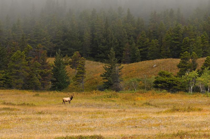Bull elk, Glacier National Park.
