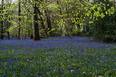 Swathes of Bluebells